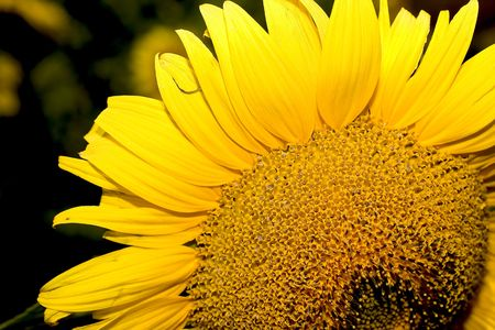 sunflower detail on a rural field Stock Photo - 3402254