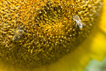 sunflower detail with two bees on it Stock Photo - 3402257