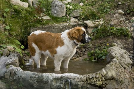 saint bernard dog staying in a puddle