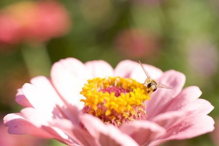 macro of a bee on a flower Stock Photo - 3616094