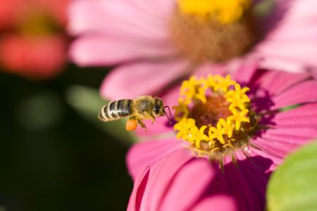 macro of a bee on a flower photo