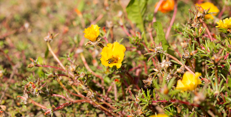 Bee on a stone flower, pollianting, Portulaca Grandiflora