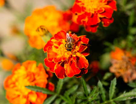 Close-up of a bee on an orange portulaca oleracea flower