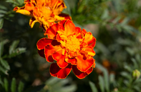 Close-up of beautiful orange portulaca oleracea flower