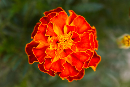 Close-up of a beautiful orange portulaca oleracea flower