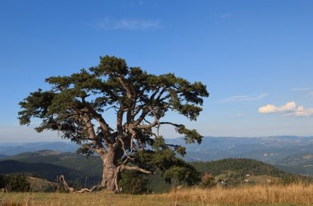 branched: Old Pine Tree