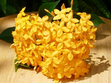 yellow ixora flower Stock Photo - 109915269