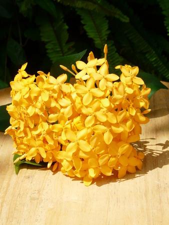 yellow ixora flower Stock Photo - 109915293