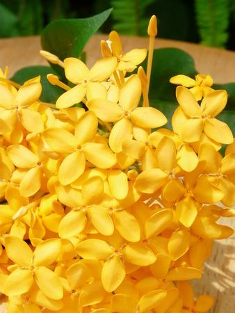 yellow ixora flower Stock Photo - 109915296