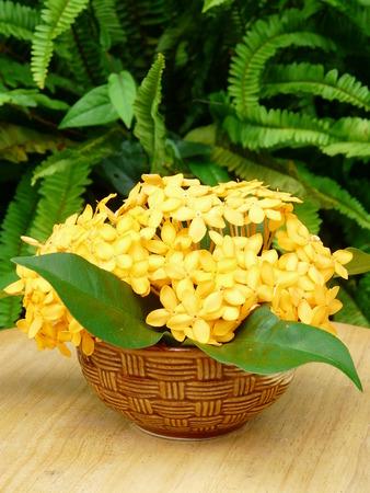 yellow ixora flower Stock Photo