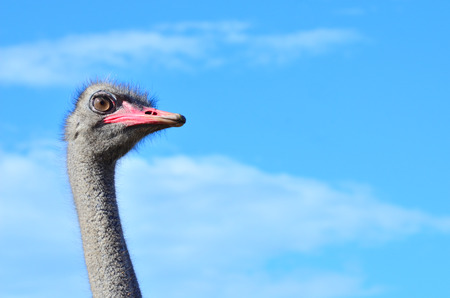 ostrich: granja de avestruces, Ucrania Foto de archivo