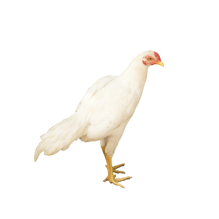 chicken isolated on white background.