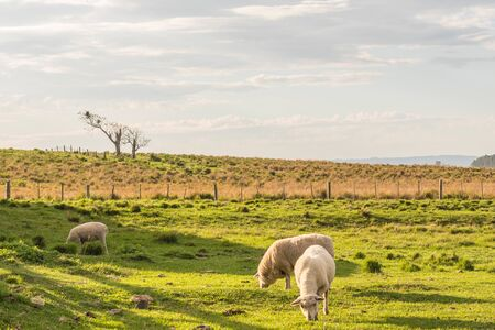 Three sheep grazing in rural farm area. In the background a fence and a lone tree. Sheep breeding at the Brazil border with Uruguay.