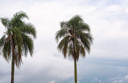 Syagrus Romanzoffiana Plants and background the landscape of the Pampa biome. It is a palm tree native to the Atlantic forest in Brazil, but it can be found in different types of forests Stockfoto