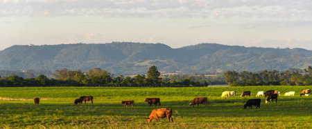 Rural landscape in southern Brazil. Area of farms where cattle breeding takes place in extensive areas. Heads of cattle feeding on livestock farm. Beef cattle. Agricultural production.