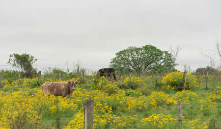Extensive livestock farm in southern Brazil. Countryside at winter dawn with cattle feeding in the midst of flowers of Senecio brasiliensis, a striking, yellow beekeeping plant.