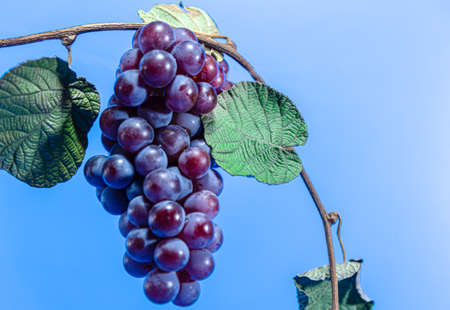 Bunch of red grape. Niagara grape variant. Pink grape. Niagara is a cultivar of the grape species Vitis labrusca. It is a variety very resistant to diseases. Consumed at the table, juices and wines.
