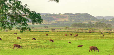 Fields of extensive cattle breeding in southern Brazil. Agricultural exploration area. Cattle farms. Production of beef cattle for export of meat. Brazilian livestock Stock Photo