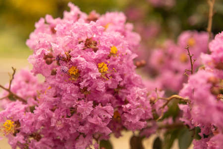 Lagerstroemia indicates LL Small tree up to 5.0 meters tall, deciduous. The flowers are small, with petals cut and delicate, white, light pink, strong pink and red.