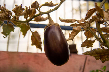 Fresh eggplant fruit. Shrubby plant, with herbaceous texture and small size, between 0.4 to 1.5 meters. Its leaves are large, green, of alternating disposition and with wavy and lobed margins.