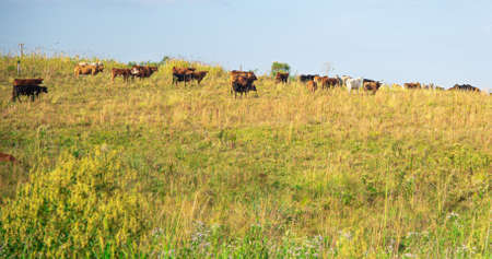 Herd of cattle. Oxen and cows walking and feeding. Agricultural production farm. pasture fields. Farm animals.