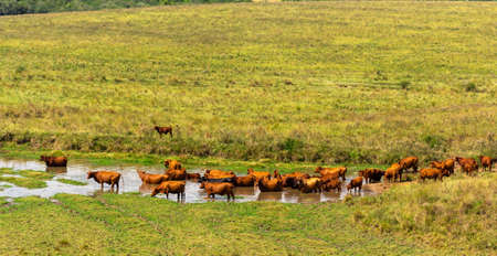 Aberdeen angus cattle. flock catching themselves in the water on a hot day on a Brazilian farm. extensive cattle breeding area for export. Agribusiness and livestock.