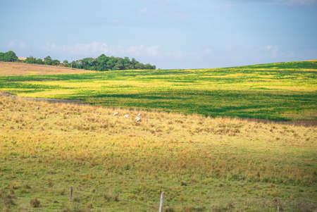 Rural landscape. Economic exploration fields. Agriculture and Livestock. State of Rio Grande do Sul - Brazil. Farm areas. Cattle farms and soybean exploration. Banco de Imagens