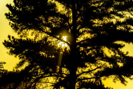 Pinus Elliottii silhouette. Morning sun. Tree and feelings of peace. Tranquility. Dawn in reverse. Translucent sun ....