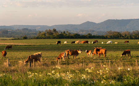 Extensive livestock farming farm in southern Brazil. Countryside in the winter dawn. Grassland fields.