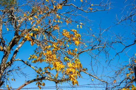 Yellow deciduous leaves in the autumn season. The leaves of these trees are born again in the next season - usually at the beginning of the next season.