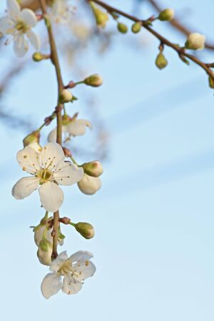 white fruit tree flower with buds closeup