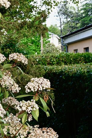 Photinia shrub profusely blooming with white inflorescences against a hedge and a house 스톡 콘텐츠