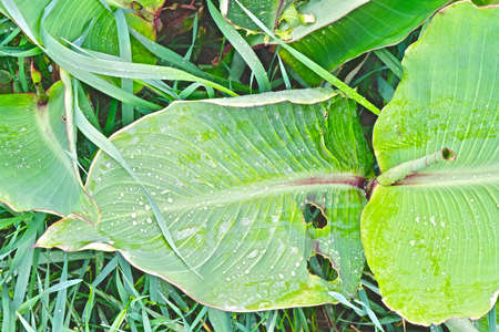 large green leaves of Canna with drops
