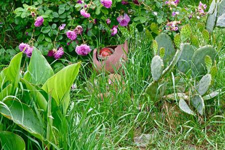 bush pink rose among garden greens Foto de archivo