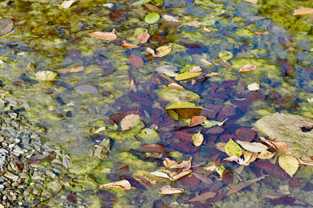 A swamp with fallen leaves on the surface of clear water and a pair of frogs in the foreground, close-up. Stock fotó