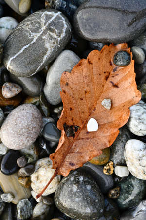 fallen leaf of a tree on wet gray and colored sea pebbles close-up Standard-Bild