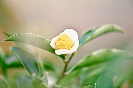 open bud of yellow-white tea flower with petals and a core on a shrub close-up
