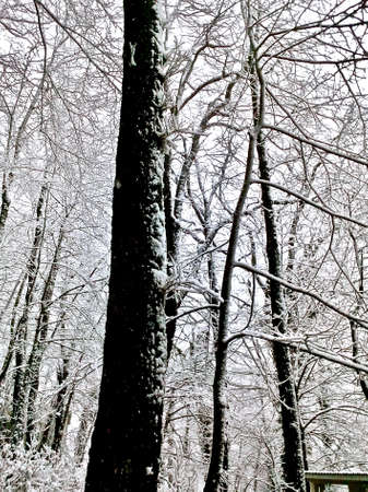 Crowns of trees with densely snow-covered branches in a winter forest with small buildings among the trees Standard-Bild
