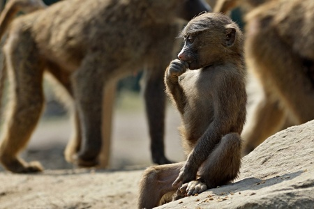 A juvenile monkey sitting on the ground in a zoo
