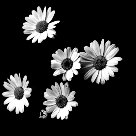 margarites black and white Standard-Bild