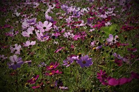 Violet flower meadow Standard-Bild