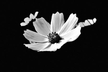 black and white flowers Standard-Bild