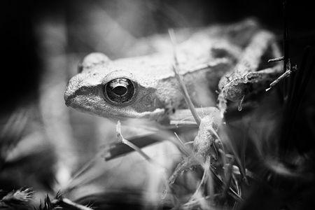 Frog black and white Standard-Bild