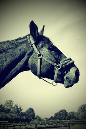Proud stallion in retro style