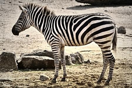 Zebra im Zoo Standard-Bild - 94912422