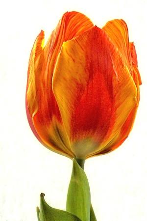 Orange tulip Standard-Bild - 95060451