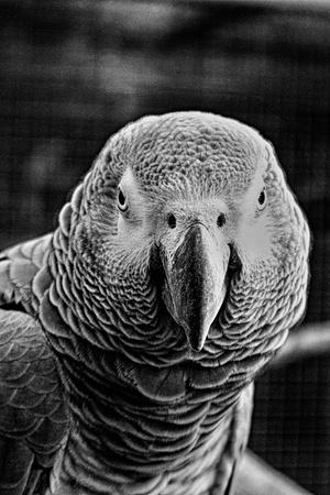 Parrot black and white Standard-Bild