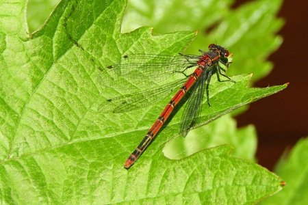 Dragonfly on grape leaf Stockfoto