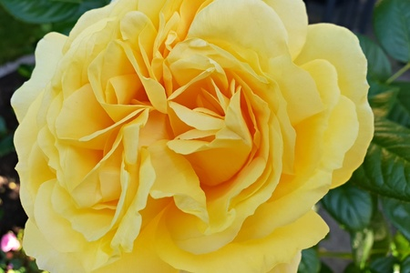 Yellow rose Standard-Bild - 101587753