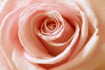 Rose macro Standard-Bild - 116295714